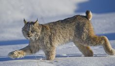 Lynx (by Dan Newcomb Photography)  Beautiful!