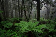 Spectacular tree ferns in the bush around Marysville, Victoria. www.marysvilletourism.com/visit-marysville-apps Marysville Victoria, Tree Fern, Forests, Ferns, Landscaping Ideas, Perfect Place, Ephemera, Trail, Waterfall