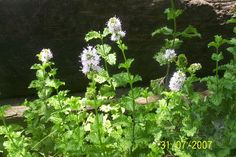 One of the most favored of the mint plants is spearmint. This highly aromatic plant is valued for its culinary, medicinal and cosmetic use. Read here for information on the care of spearmint in the garden.