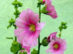 Transylvania Oradea Hollyhocks! Sweet Flowers - Flori by MarculescuEugenIancuD60Alaska, via Flickr