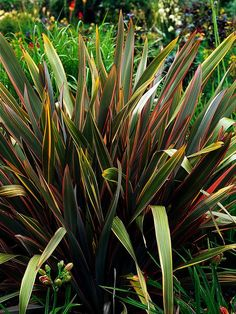 New Zealand flax - Dramatic sword-like foliage of easy-to-grow perennial (Phormium tenax) adds structural element to garden. The plant's upright or arching leaves reach 9 feet long and come in green, bronze or maroon. It tolerates wide variety of soil types and is drought tolerant, although the plant performs just as well with regular watering. Fast-growing plant as an annual in the spring and summer garden. Plant in a full-sun location with good drainage. Hardiness: USDA Zones: 7 to 10