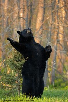 #black #bear #scratching...no singing... the woods are alive with the sound of music!!! LOVE BEARS..Jan Bigelow