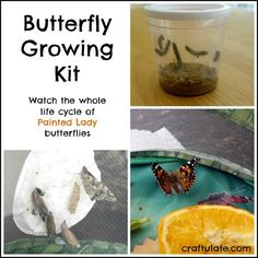 Butterfly Growing Kit - watch the whole life cycle!