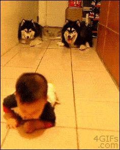 Dois huskies ajudando um bebê a se tornar parte da turma.