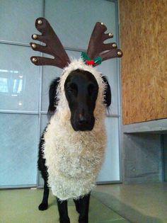 Flat-coated Retriever ; Christmas