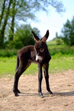 Pretty Horses, Beautiful Horses, Animals Beautiful, Cute Donkey, Mini Donkey, Cute Baby Animals, Animals And Pets, Funny Animals, Miniature Donkey