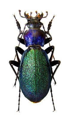 Carabus (Megodontus) stroganowi – Carabidae