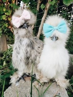 Thinking about keeping chickens as pets? Here's what you need to know! Thinking about keeping chickens as pets? Here's what you need to know! Fancy Chickens, Raising Backyard Chickens, Keeping Chickens, Urban Chickens, Silkie Chickens, Chickens And Roosters, Frizzle Chickens, Beautiful Chickens, Animals Beautiful