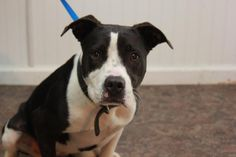 Roxy - URGENT - CHRISTIAN COUNTY ANIMAL SHELTER in Hopkinsville, Kentucky - ADOPT OR FOSTER - 1 year old Female Pit Bull Terrier Mix