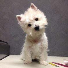 Instagram by emma_the_westie | West Highland Terrier | Puppy Tales Instagram Dogs #puppytales #puppy