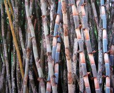 Bamboo Seeds Catalog — มีเมล็ดพันธุ์ไผ่จำหน่าย: BAMBUSA POLYMORPHA — SEEDS AVAILABLE Bamboo Seeds, Asparagus, Wood, Woodwind Instrument, Timber Wood, Wood Planks, Trees, Woodworking, Woods