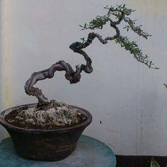 Buy Bonsai Tree, Bonsai Art, Mame Bonsai, Bonsai Styles, Miniature Trees, Greenery, Inspire, Gardening, Shapes