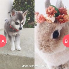 Bunny or husky? Click here to vote @ http://wishbone.io/bunny-or-husky-35088158.html?utm_source=app&utm_campign=share&utm_medium=referral