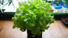 In this video, I'm going to show you how to make a mini Kratky system for growing lettuce. I logged the entire progress which took about 5 weeks. Depending o...