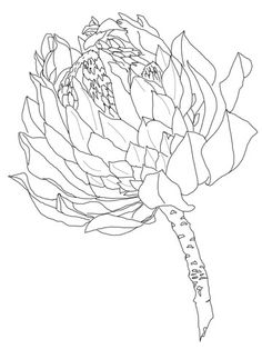 Protea coloring page from Protea category. Select from 20960 printable crafts of cartoons, nature, animals, Bible and many more. Flor Protea, Protea Art, Protea Flower, Outline Drawings, Ink Drawings, Drawing Sketches, Botanical Drawings, Botanical Illustration, Illustration Art