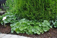 Hasselört. Vintergrön marktäckare. Gillar skugga. 10-15 cm hög Perennials, Herbs, Vegetables, Balcony, Gardening, Dreams, Handmade, Plant, Shadows