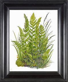ANTIQUE FERN Lindman 8X10 Botanical Art Print 5 by LoveThePrint, $10.00