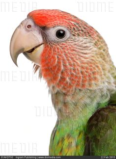 STOCK IMAGE - Close-up of Cape Parrot, Poicephalus robustus, 8 months old, in front of white background by www.DIOMEDIA.com