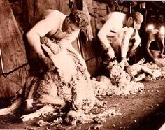 v Shearing Shed in Australia. Sheep Shearing, Counting Sheep, Farm Houses, Homesteads, Old Barns, The Good Old Days, Sheds, Felting, Tweed