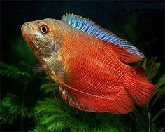 Pair Neon Royal Red Dwarf Gourami *4cm* TROPICAL FISH in Pet Supplies, Fish & Aquarium, Live Fish   eBay