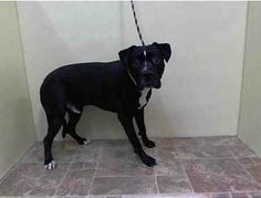 URGENT - Manhattan Center    BUDDHA - A0994394   MALE, BLACK / WHITE, PIT BULL MIX, 3 yrs  STRAY - ONHOLDHERE, HOLD FOR ID Reason ABANDON   Intake condition NONE Intake Date 03/20/2014, From NY 10029, DueOut Date 03/23/2014, I came in with Group/Litter #K14-171271 https://www.facebook.com/Urgentdeathrowdogs/photos_stream