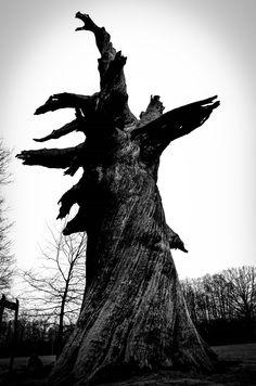 Baum, Byhlen, tot, alt, tree, old, dead Oak Tree, Tree Structure