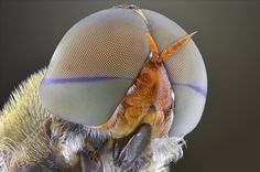 Macro photographs of insect eyes by Yudy Sauw Tittle: ~Robert Anton Wilson Wiki on Ommatidia Pro. Macro Photography, Animal Photography, Evolution Of Plants, Insect Eyes, The Doors Of Perception, Small Insects, Macro And Micro, Fotografia Macro, Insects
