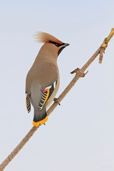 another Waxwing