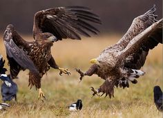 Aguilas cazando