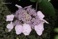 Hydrangea Aspera Mauvette ~ lovely mauve to lavender.  Not great for cut flowers but lovely in the garden.