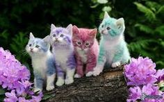 The Dwelf cat is a  new cat breed. This cat includes the bald attribute of the Sphynx cat, the small thighs of the Munchkin kitten along with the curled ears of the American Curl. The result is a really unique-looking pet...