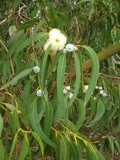 Starr_051123-5467_Eucalyptus_globulus