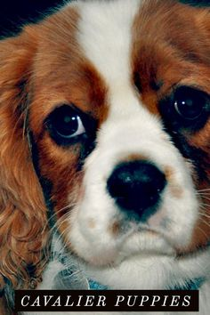 """The Cavalier King Charles Spaniel is little, caring and playful. The normal Cavalier is constantly happy, relying on and easygoing, a pal to everyone he fulfills. Real to their heritage as """"comforter pets,"""" Cavaliers enjoy to be in a lap. Obtain The Understand How Of Dog Care With regards to learning, we never stop. Whether it be new cooking techniques or new driving routes, we're always obtaining new information. With regards to dogs, there is certainly always new things to un"""