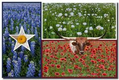 Mr Bevo, Dallas Cowboys star, bluebonnets and wildflowers...it's all about Texas.