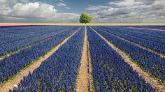 Hyacinths & Tree, Netherlands ✯ ωнιмѕу ѕαη∂у