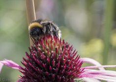 Buff tailed bumblebee (Bombus terrestris) on an Echinacea flower