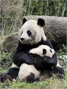 Eric Baccega - Großer Panda mit Jungem