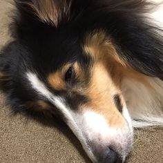 昨日のニコちゃん🐶😘 眠いね💤 我慢して頑張ってたね〜🐶 お休みネムネム💤💤 #いぬバカ部 #ふわもこ部 #愛犬 #シェルティ #シェルティー#シェトランドシープドッグ #ねむねむ