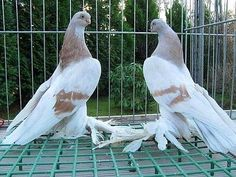 Berlín shows fey Pigeon Pictures, Pigeon Bird, Pakistan, Wings, Beautiful, Animales, Pigeon, Feathers
