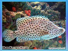 Khasiat Ikan Gindara