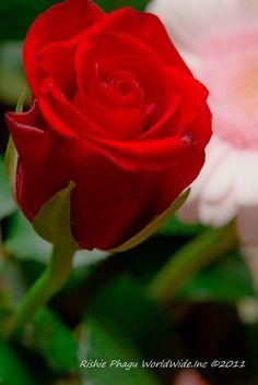 Red Rose-just beautiful