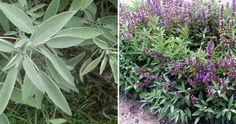 Cómo y por qué plantar salvia en el huerto o el jardín (en serio, debes planteártelo)