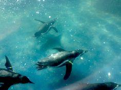 Penguins @ sea life Norfolk