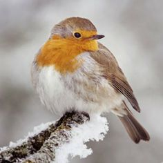 Pretty Robin on Snowy Branch