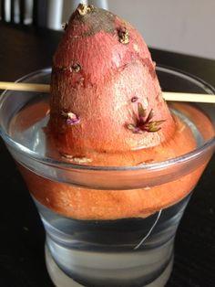 Grow your own sweet potatoes, pineapple, celery, green onions
