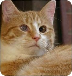 2/2017 sl   11/2016sl ♡♥♡6/22/15★★★★   LOOK INTO MY CRYSTAL BALL, YOU WILL SEE ME AND WANT TO LOVE ME♥♥♥♥  HELLO, my name is John Deere, cute huh? Iam a good boy who loves to play , sleep in front of a window, and I love food!   I am looking for a loving,adult, forever home. Please come meet me soon! ♥♥♥♥♥♥ Winston-Salem, NC - Domestic Shorthair. Meet John Deere, a cat for adoption. http://www.adoptapet.com/pet/6467800-winston-salem-north-carolina-cat