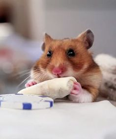 Watch a tiny hamster eat a tiny burrito because YES!