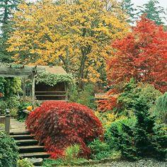 Garnet Japanese maple in front, Osakazuki Japanese maple on right, golden big-leaf maple in back