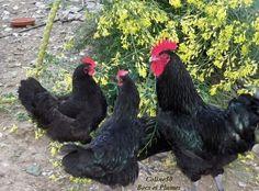 la poule Cotentine   Becs et Plumes Animals, Hens, Animales, Animaux, Animal, Animais