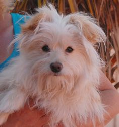 Mercedes longs to know what a loving home feels like.  She is an adorable Powder Puff mix, 1 year of age, now spayed and debuting for adoption today at Nevada SPCA (www.nevadaspca.org).  Mercedes is playful and affectionate, and compatible with other friendly dogs too.  She was found wandering the Vegas streets with no sign of responsible ownership (no ID tag, no microchip ID, not spayed).
